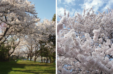 桜がポンポン.jpg