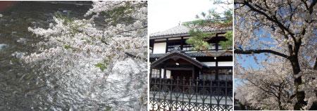川沿いの桜.jpg
